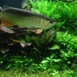 Aquário plantado e peixes jumbo, uma combinação diferente