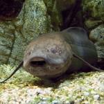 Peixe que dorme durante 5 anos pode ajudar a decifrar a animação suspensa em humanos