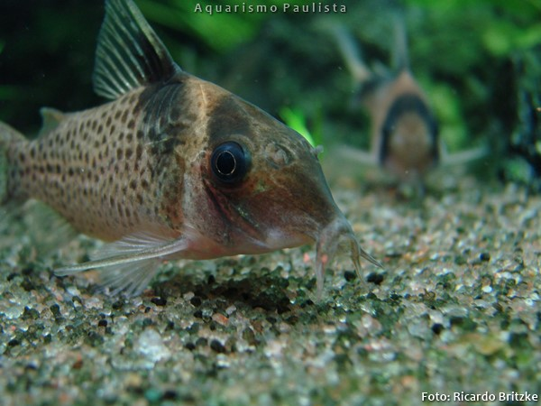 Corydoras-melanistius2