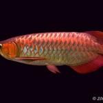 """Estudo sugere que o Aruanã asiático é o peixe moderno """"mais primitivo"""""""