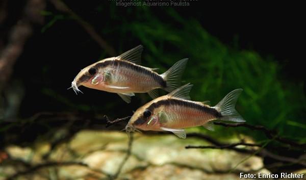 Corydoras-arcuatus2