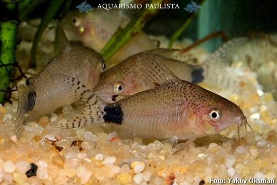 Corydoras-guapore2
