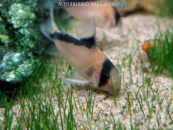Corydoras-melini5