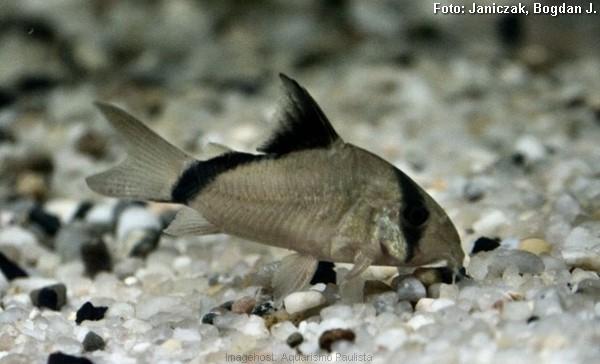 Coridora Mascarada (Corydoras metae) - Aquarismo Paulista