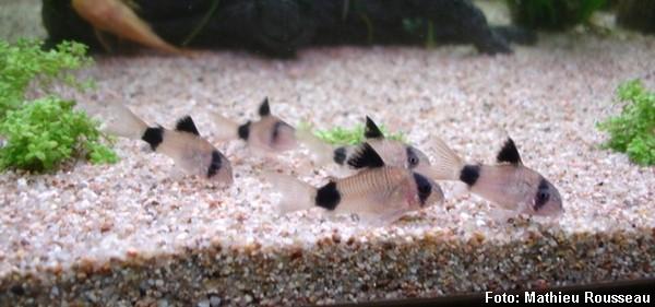 Cardume de Coridora Panda em aquário