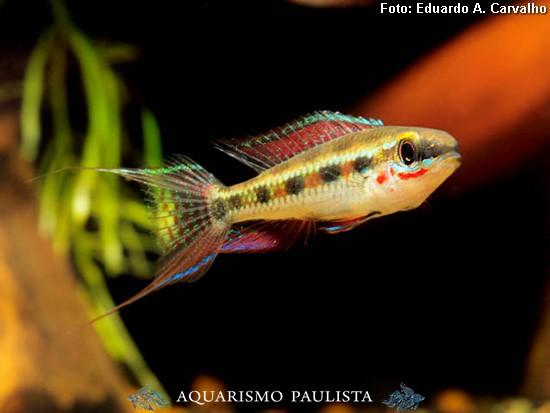 Dicrossus-filamentosus3