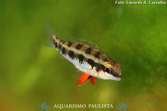 Dicrossus-filamentosus4