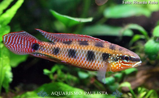 Dicrossus-maculatus2