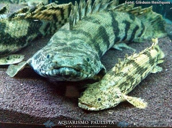 Polypterus-endlicheri2