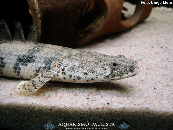 Polypterus-endlicheri3