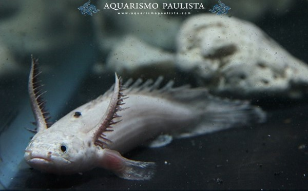 Polypterus-endlicheri5