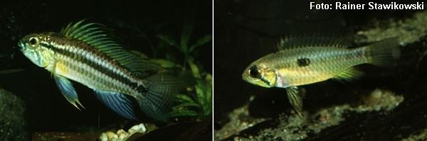 Macho e fêmea respectivamente em época de reprodução