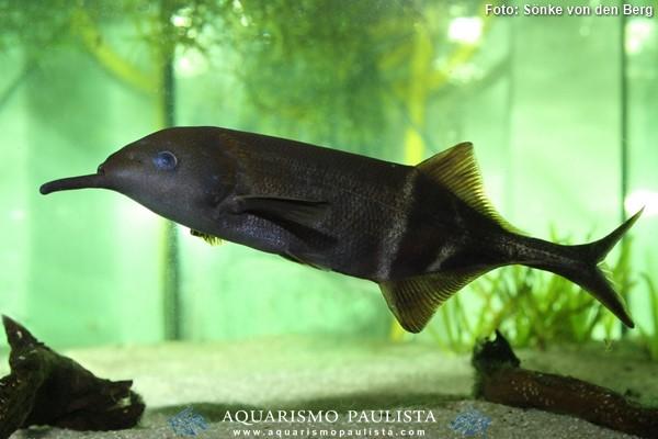 Gnathonemus-petersii