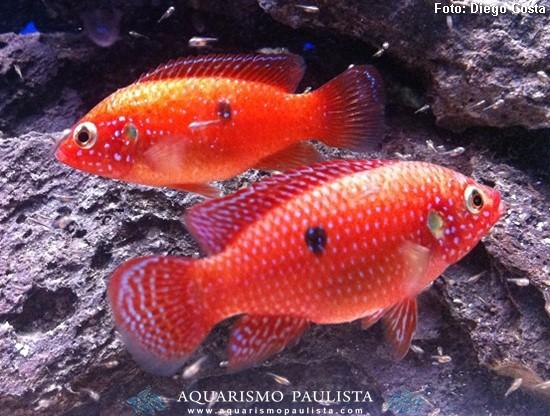 Hemichromis-bimaculatus2