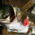 Asterophysus batrachus – Gulper catfish