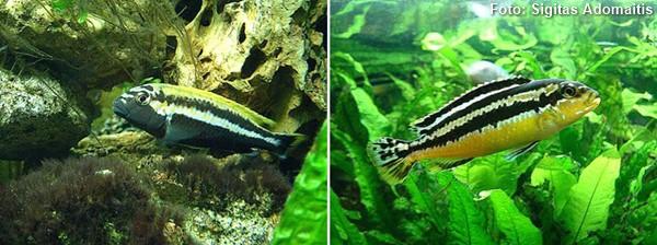 Melanochromis-auratus2