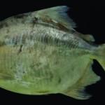 Nova espécie de Pacu do gênero Myloplus descrito