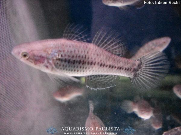 Dormitator-maculatus