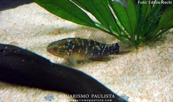 Dormitator-maculatus2