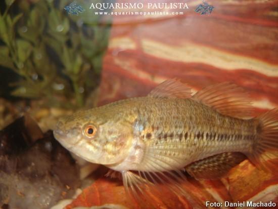 Dormitator-maculatus3