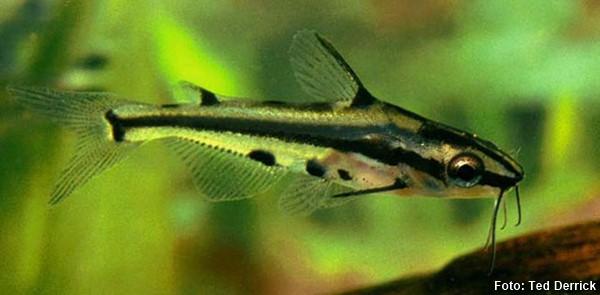 Hyalobagrus-ornatus