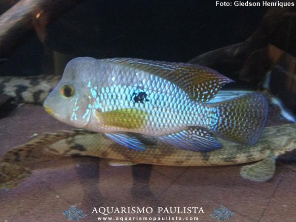 Geophagus-brasiliensis