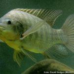 Tilápia do Nilo (Oreochromis niloticus)