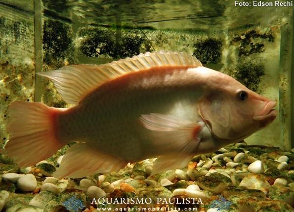 Oreochromis-niloticus-saint-peter