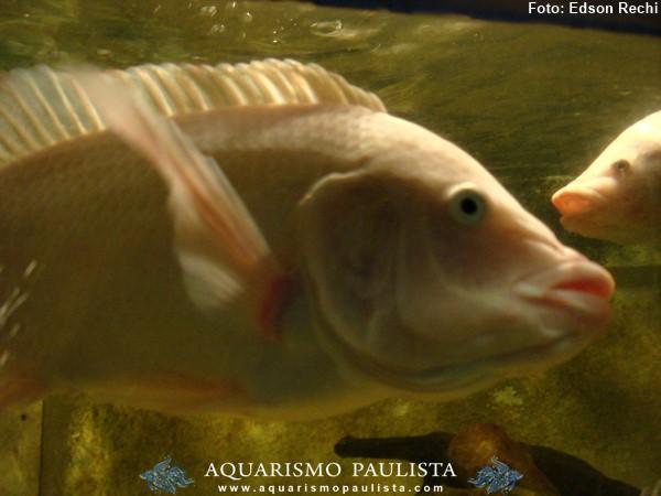 Oreochromis-niloticus-saint-peter2