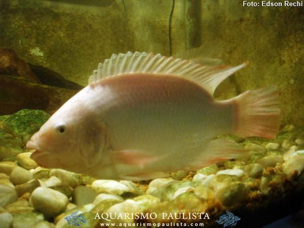 Oreochromis-niloticus-saint-peter3