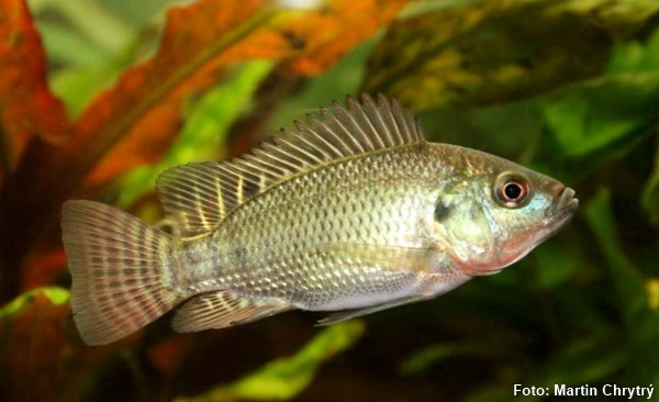 Oreochromis-niloticus2