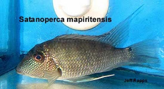 Satanoperca mapiritensis