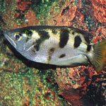 Peixes podem reconhecer e lembrar de rostos humanos