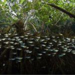 Conheça o peixe que resiste a venenos e 'atentados'