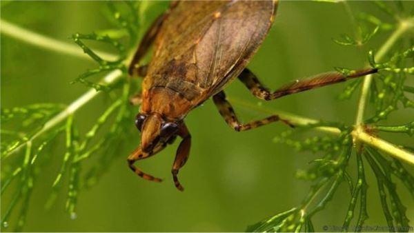 O besouro aquático é o predador das molinésias