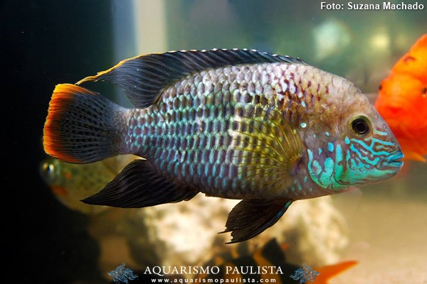 Andinoacara-rivulatus