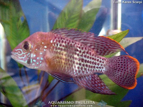 Andinoacara-rivulatus2