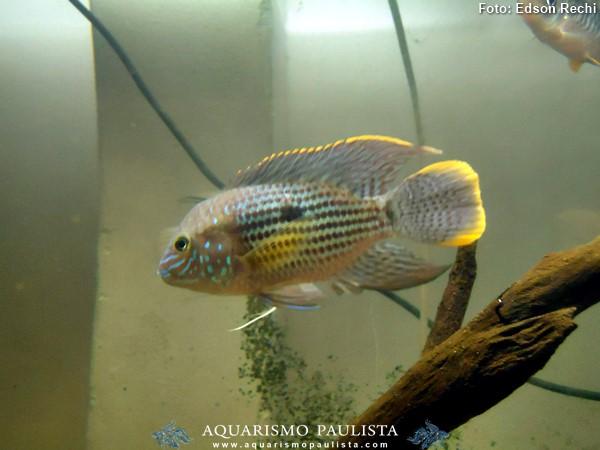 Andinoacara-rivulatus3