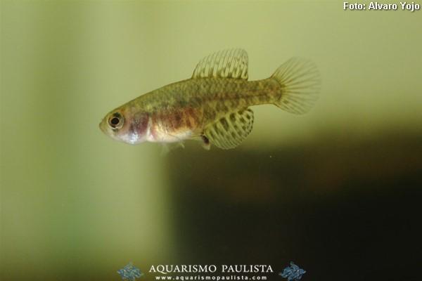 Austrolebias-nigripinnis2