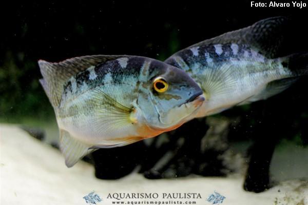 Hoplarchus-psittacus2