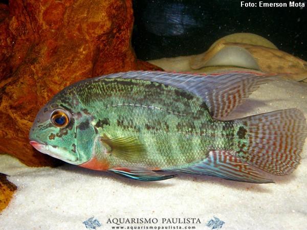 Hoplarchus-psittacus3