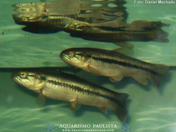 Hopleritrhynus-unitaeniatus