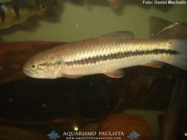 Hopleritrhynus-unitaeniatus2