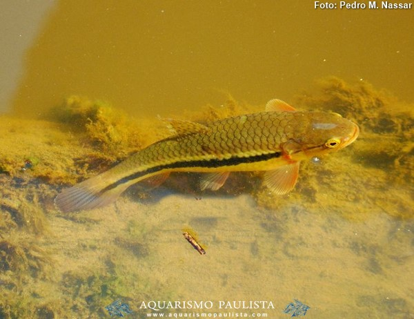 Hopleritrhynus-unitaeniatus3