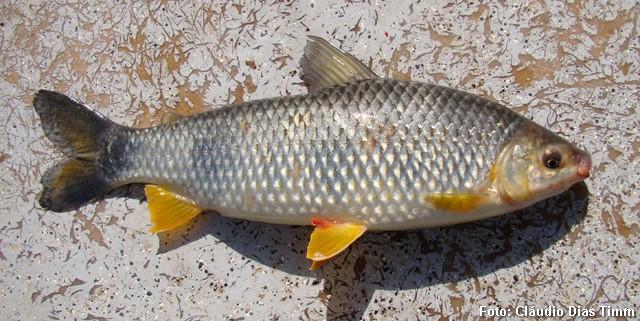 Espécime de 36 cm capturado no rio Paraná (Argentina)