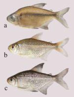 Nova espécie de Moenkhausia descrita na bacia do rio Arinos