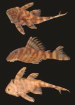 Nova espécie de Cascudo do gênero Panaqolus descrita