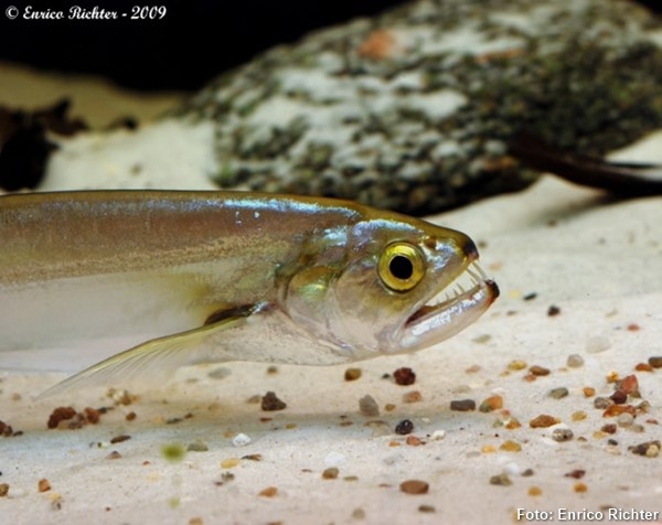 Rhaphiodon-vulpinus2
