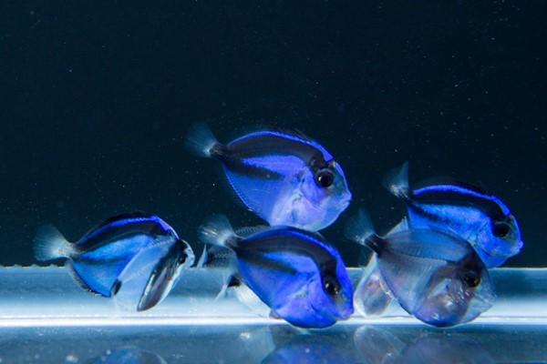 Espécimes com 55 dias de vida do do UF Tropical Aquaculture Laboratory. Imagem cortesia da UF.