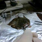 Pesquisador descobre substância venenosa dos peixes sapo e escorpião